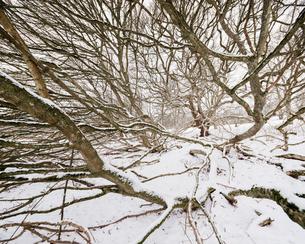 Sweden, Skane, Torup, Bare tree of Norway maple (Acer platanoides) in winterの写真素材 [FYI02203823]
