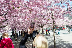 Sweden, Stockholm, Kungstradgarden, Young woman photographing cherry blossomの写真素材 [FYI02203902]