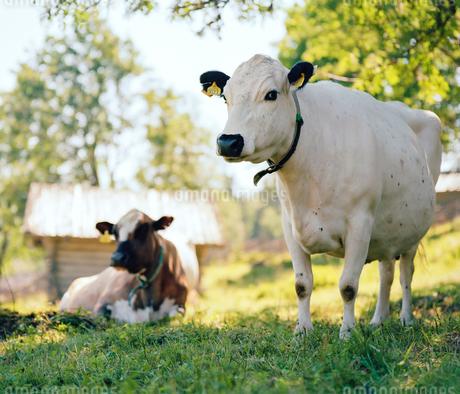 Sweden, Dalarna, Furudal, Aterasen, Swedish mountain cattleの写真素材 [FYI02204109]