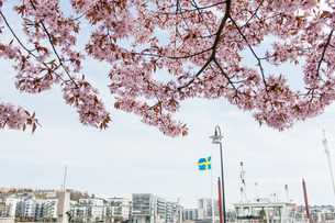 Sweden, Sodermanland, Stockholm, Sodermalm, Residential buildings with fruit tree in bloomの写真素材 [FYI02204274]