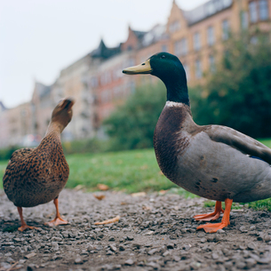 Sweden, Skane, Malmo, Two Mallard Ducks in city parkの写真素材 [FYI02204399]