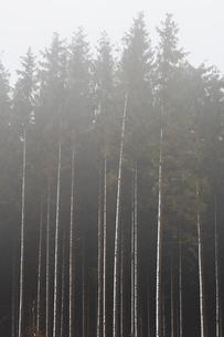 Sweden, Skane, Stenestad, Tall Norway spruce trees (Picea abies) in fogの写真素材 [FYI02204441]