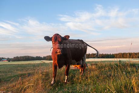 Sweden, Uppland, Grillby, Lindsunda, Cow (Bos taurus) grazing in fieldの写真素材 [FYI02204445]