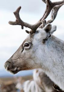 Sweden, Lapland, Levas, Portrait of reindeer (Rangifer tarandus)の写真素材 [FYI02204454]