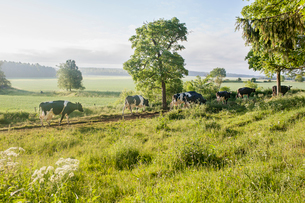 Sweden, Uppland, Grillby, Lindsunda, Cows (Bos taurus) walking in grassy pathの写真素材 [FYI02204541]