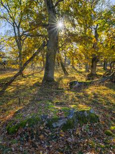 Sweden, Uppland, Norrmalma, View of oak tree in autumの写真素材 [FYI02204665]