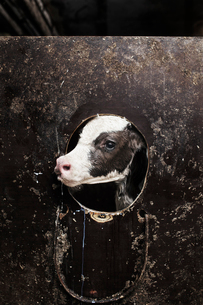 Sweden, Uppland, Grillby, Lindsunda, Young cow (Bos taurus) in penの写真素材 [FYI02204690]