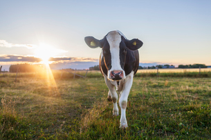 Sweden, Uppland, Grillby, Lindsunda, Cow (Bos taurus) grazing in field at sunsetの写真素材 [FYI02204737]
