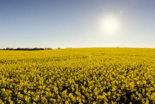 Sweden, Skane, Sun over blooming rapeseed fieldの写真素材 [FYI02204893]