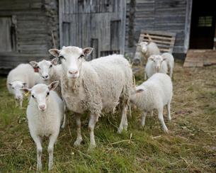 Sweden, Dalarna, sheep in animal penの写真素材 [FYI02204984]