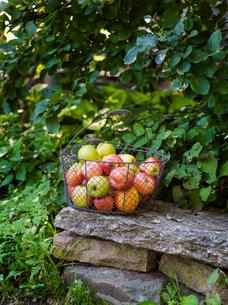 Sweden, Apples in metal basket on stack of stonesの写真素材 [FYI02205007]