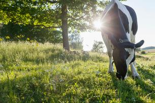 Sweden, Uppland, Grillby, Lindsunda, Cow (Bos taurus) grazing in meadowの写真素材 [FYI02205331]