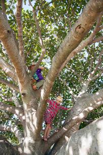 Australia, Queensland, Sunshine Coast, Boys (4-5), (6-7) climbing treeの写真素材 [FYI02205353]
