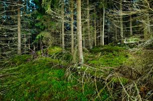 Finland, Paijat-Hame, Fallen tree in spruce forestの写真素材 [FYI02205623]