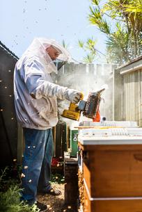 Australia, Queensland, Beekeeper using smoker on beehiveの写真素材 [FYI02205699]