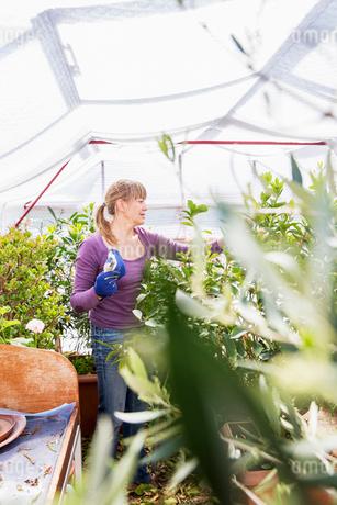 Sweden, Skane, Woman gardening in greenhouseの写真素材 [FYI02205742]