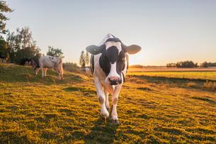 Sweden, Uppland, Grillby, Lindsunda, Cows (Bos taurus) grazing in field at sunsetの写真素材 [FYI02205816]