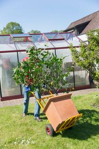 Sweden, Skane, Man with potted lemon tree on push cartの写真素材 [FYI02205830]