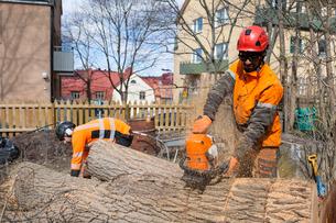 Sweden, Sodermanland, Arborists cutting logsの写真素材 [FYI02206059]