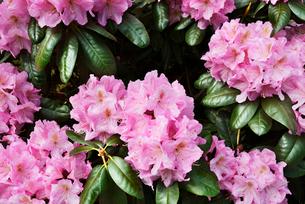 Sweden, Stockholm, Djurgarden, Pink flowers in parkの写真素材 [FYI02206091]