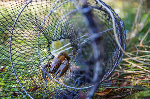 Sweden, Crayfish caught in fishing net on grassの写真素材 [FYI02206287]
