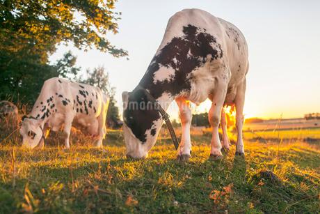 Sweden, Uppland, Grillby, Lindsunda, Cows (Bos taurus) grazing in fieldの写真素材 [FYI02206313]