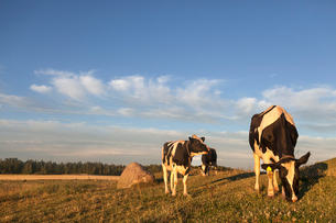 Sweden, Uppland, Grillby, Lindsunda, Cows (Bos taurus) grazing in fieldの写真素材 [FYI02206399]