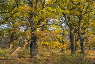 Sweden, Uppland, Norrmalma, View of oak trees in autumnの写真素材 [FYI02206415]