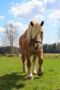 Sweden, Varmland, Degerfors, Horse walking in pastureの写真素材 [FYI02206572]