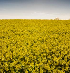 Sweden, Skane, Blooming rapeseed fieldの写真素材 [FYI02206875]