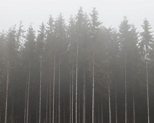 Sweden, Skane, Stenestad, Tall Norway spruce trees (Picea abies) in fogの写真素材 [FYI02206883]