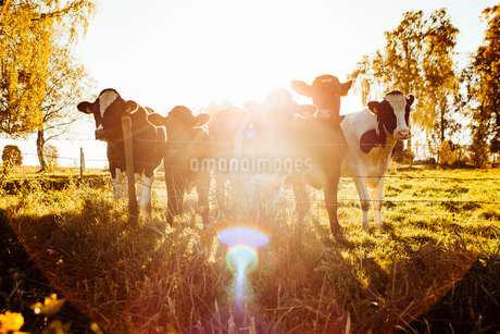 Sweden, Vastra Gotaland, Cows standing behind barbed fenceの写真素材 [FYI02207007]