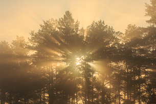 Trees at sunrise in Knuthojdsmossen, Swedenの写真素材 [FYI02207297]