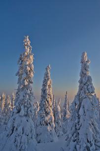 Sweden, Lappland, Rukkatuntturi, View of snowcapped treesの写真素材 [FYI02207439]