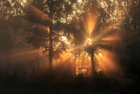 Sunbeam through trees at dawn in Narke, Swedenの写真素材 [FYI02207467]