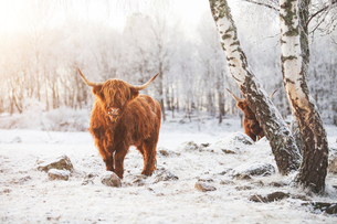 Highland cattle in the snowの写真素材 [FYI02207471]