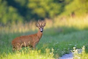 Sweden, Uppland, Lidingo, European roe deer (Capreolus capreolus) in meadowの写真素材 [FYI02207593]