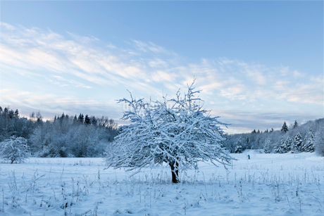 A snow covered tree in Swedenの写真素材 [FYI02207610]
