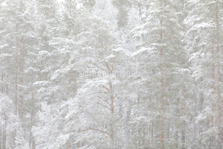 Snow covered trees in Ostergotland, Swedenの写真素材 [FYI02207652]