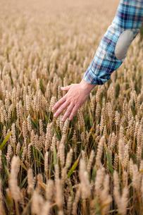 Finland, Uusimaa, Siuntio, Man´s hand touching wheatの写真素材 [FYI02207653]