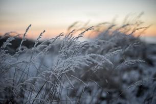 Frost on wheat in Angelholm, Swedenの写真素材 [FYI02207675]