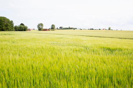 A field in Sweden in summerの写真素材 [FYI02207728]