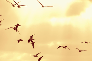 Sweden, Black-headed gulls (Larus ridibundus) flying against sunset skyの写真素材 [FYI02207870]