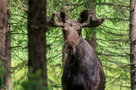 Moose in a forest in Norwayの写真素材 [FYI02208066]