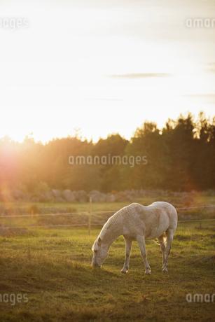 Horse grazing in paddock in Swedenの写真素材 [FYI02208070]