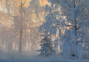 Sweden, View of snow covered treesの写真素材 [FYI02208293]