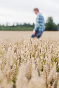 Finland, Uusimaa, Siuntio, Mid adult man walking in wheat fieldの写真素材 [FYI02208349]
