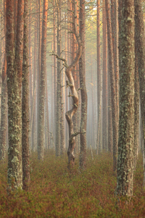 Tree trunks at a forest in Hasselfors, Swedenの写真素材 [FYI02208419]