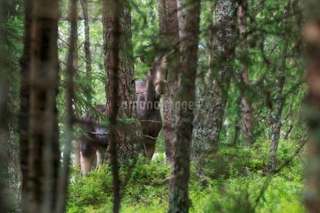 Moose in a forest in Narke, Swedenの写真素材 [FYI02208540]