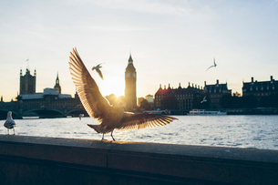 UK, England, London, Birds on bank of River Thames with Houses of Parliament and Westminster Bridgeの写真素材 [FYI02208596]